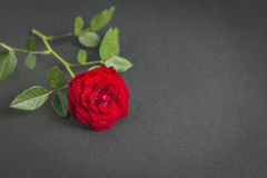 Red rose close up on a textured dark background Royalty Free Stock Photo