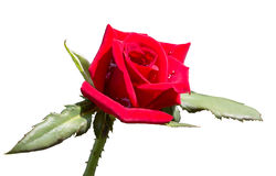 Red rose close up for Valentine Day, Isolated on white backgroun Royalty Free Stock Image
