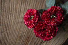 Red rose close-up Royalty Free Stock Image