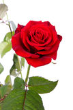 Red rose in closeup Stock Photography