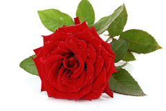 Red rose closeup. Isolated on white Stock Images