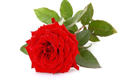 Red rose closeup. Isolated on white Stock Photos
