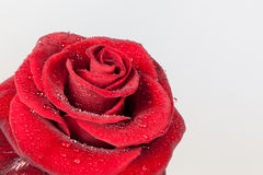 Red rose closeup Royalty Free Stock Photos