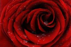 Red rose closeup Stock Photo