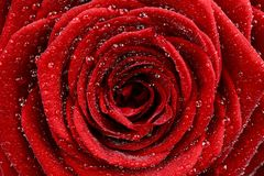 Red Rose Closeup Stock Photos