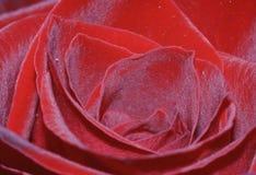 Red rose closeup. Macro / closeup of a deep dark red rose Stock Images