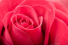 Red rose closeup Royalty Free Stock Image