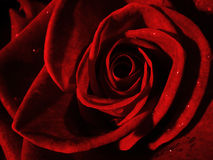 Red rose closeup. A closeup of a red rose with tiny drops of water royalty free stock photo