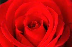 Red rose closeup Stock Images