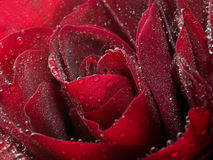 Red rose closeup background. Stock Photo