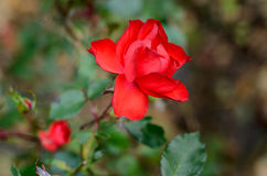 Red rose closeup. On a background green leaves Royalty Free Stock Photos