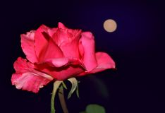 Red rose closeup on background of the moon. Beautiful flower on the background of the night sky. southern night Stock Photos