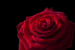 Red rose closeup on a black background Royalty Free Stock Photo