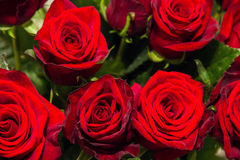 Red rose closeup. Bouquet. Stock Photography