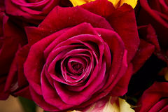 Red rose closeup Royalty Free Stock Photography