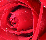 Red rose closeup with drops Stock Image
