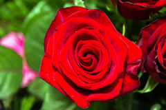 Red rose closeup. Stock Images