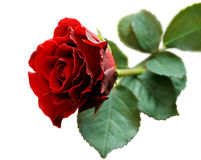 Red rose closeup isolated on white Royalty Free Stock Photo