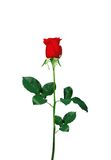Red rose closeup isolated on white Stock Image