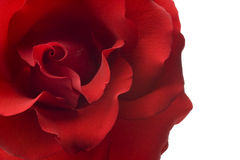 Red rose closeup isolated on white background Stock Images