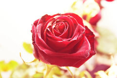 Red rose. Closeup photo of a red rose Royalty Free Stock Photography