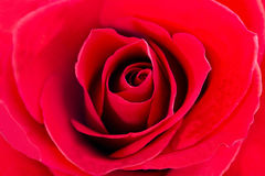 Red rose. Closeup of red rose top view Royalty Free Stock Images