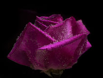 Red rose closeup under water. holiday card Royalty Free Stock Photos