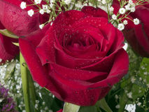 Red rose closeup with water drops and babys breath Royalty Free Stock Photo