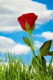 Red rose and clouds Stock Photography