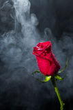 Red rose in clouds of smoke Stock Photos