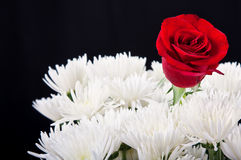 Red rose contrast in white bouqet. Red rose contrast in white bouquet against a black background royalty free stock photos
