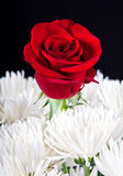 Red rose contrast in white bouqet Stock Images