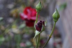 RED ROSE COVERED WITH DEW DRPS Royalty Free Stock Photos