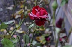 RED ROSE COVERED WITH DEW DRPS Stock Photo