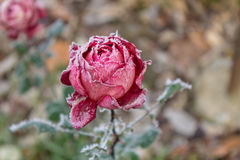 Red rose covered with frost. On the street, winter Royalty Free Stock Images