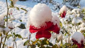 Red Rose Covered By Snow stock photos