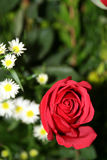Red rose and daisy flowers. Red rose and common daisy flowers on bloom with leafy green background Stock Photo