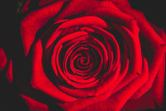 Red rose Stock Photography