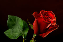 Red rose on dark background Stock Images