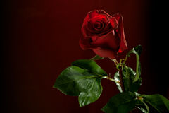 Red rose on dark background Stock Photos