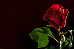 Red rose on dark background Royalty Free Stock Photos