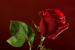 Red rose on dark background Royalty Free Stock Images