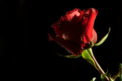 Red rose on dark background Royalty Free Stock Image