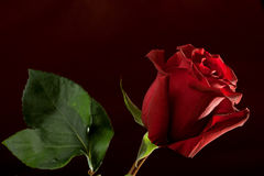 Red rose on dark background Stock Image
