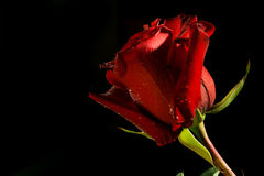 Red rose on dark background Stock Photography