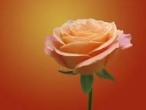 Red rose on dark background. RedBeautiful red rose on dark lighted background royalty free stock image