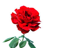 Red rose dark version isolate on white background Stock Photo