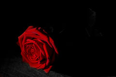 Red rose from the darkness Royalty Free Stock Photo
