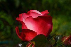 Red Rose in Daytime Royalty Free Stock Photography