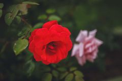 Red Rose. Delicate beautiful flower. Royalty Free Stock Photography